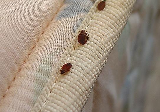 Cimici da letto, l'insidia può arrivare anche da valigie e borse. Abbac a tutela di gestori e ospiti